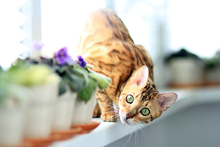 raza felina gato bengalí