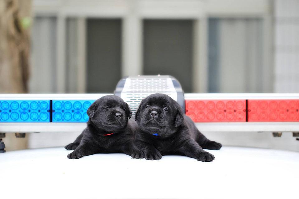Cachorros reclutados