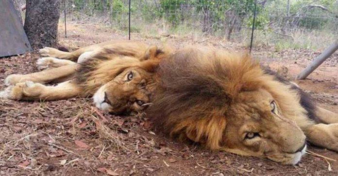 Cazadores furtivos asesinaron a dos leones que estaban en un santuario