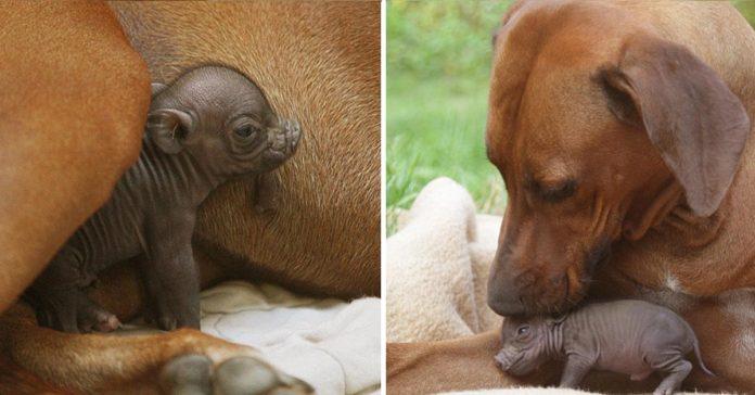 Cerda bebé abandonada fue adoptada por una amorosa perra de granja