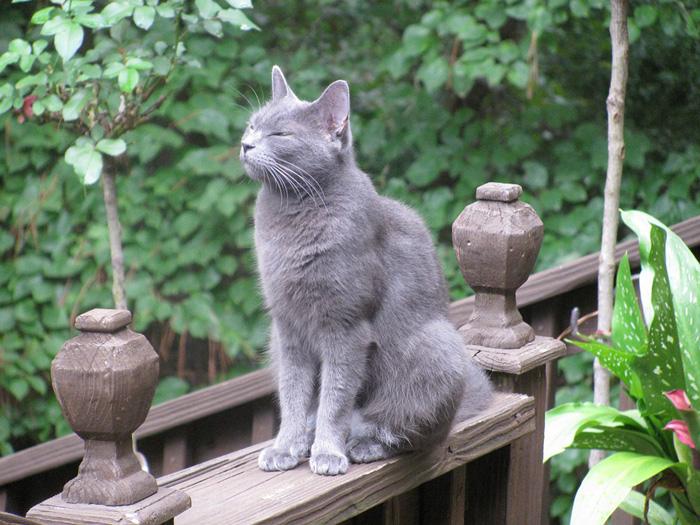 Razas - gato azul ruso