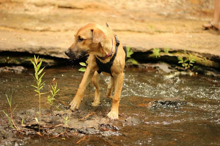 El perro Rhodesian Ridgeback