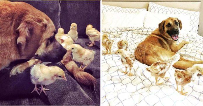 Este perro ama ser la madre adoptiva de unos pequeños polluelos