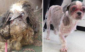 Este perro sin hogar tuvo que ser anestesiado para poder cortar su pelaje