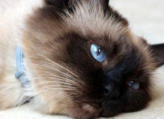 Gato birmano