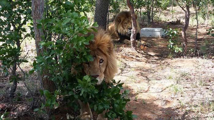 Estos leones fueron vilmente asesinados por cazadores furtivos