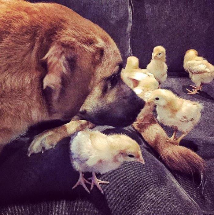 Los polluelos y Mac se la llevan de maravilla