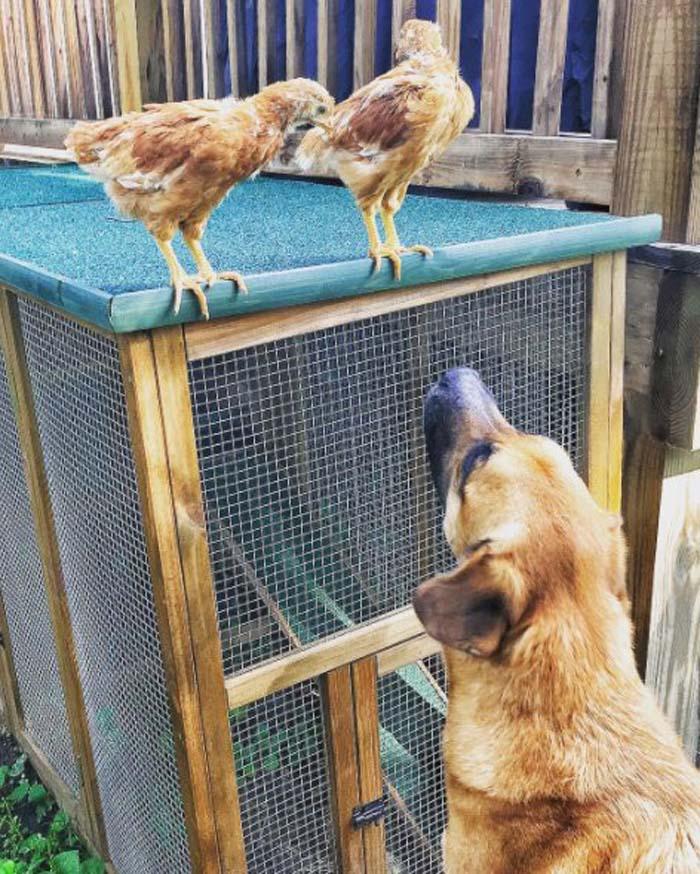 Mac nunca les hace daño a los polluelos
