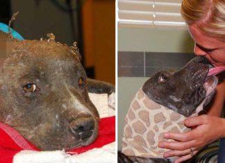 Perra era utilizada como cebo y perdió sus orejas, pero ya tiene un hogar