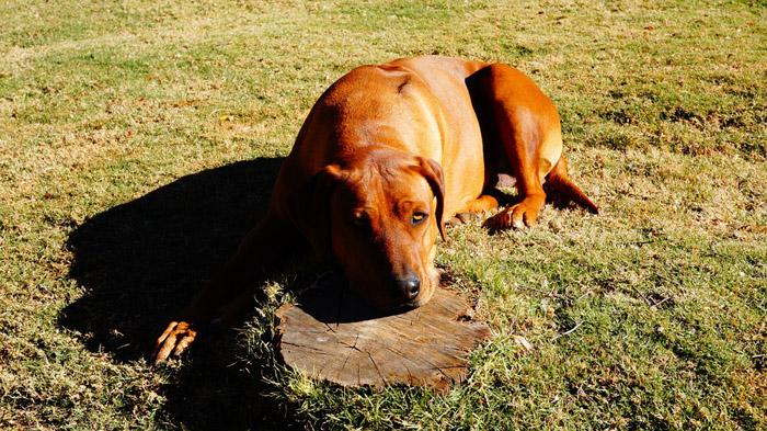 Rhodesian Ridgeback - razas de perros