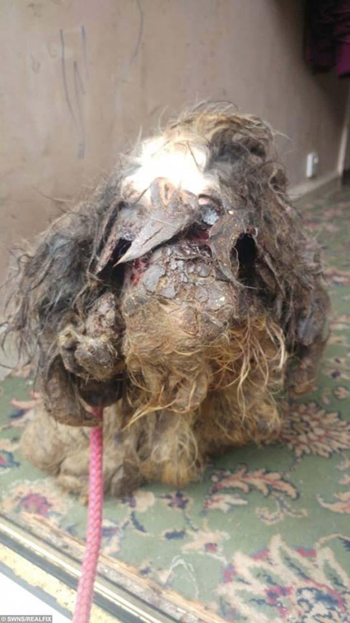 Perro con pelo enmarañado