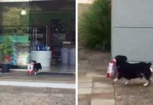 Perro inteligente va por sí mismo a la tienda