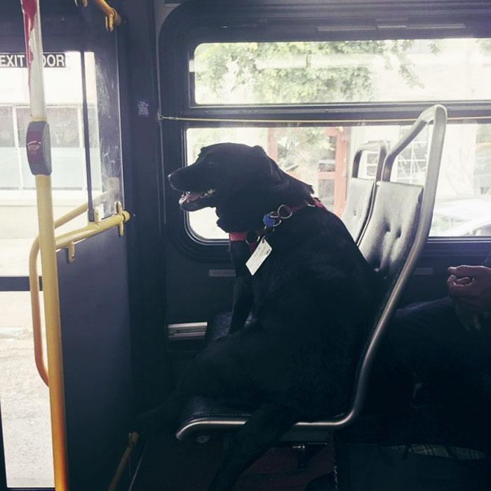 Perro toma el autobús a diario