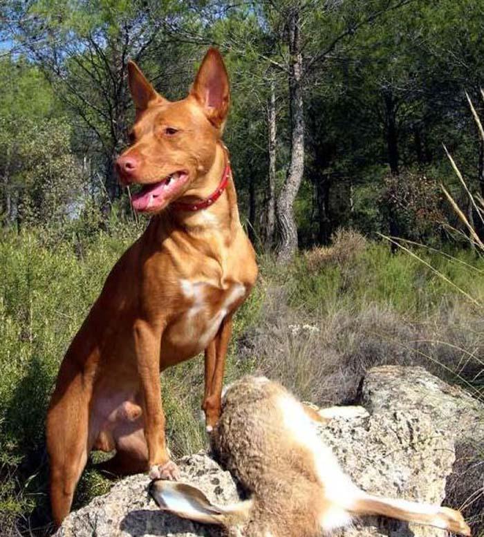 Perro utilizado para la caza