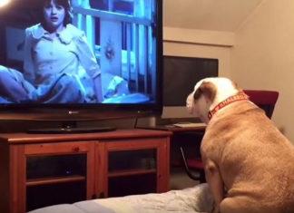 Reacción de un bulldog viendo películas de terror