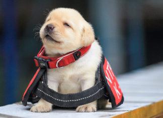Unidad K9 de la policía recluta cachorros