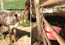 Vacas ahogándose en estiércol