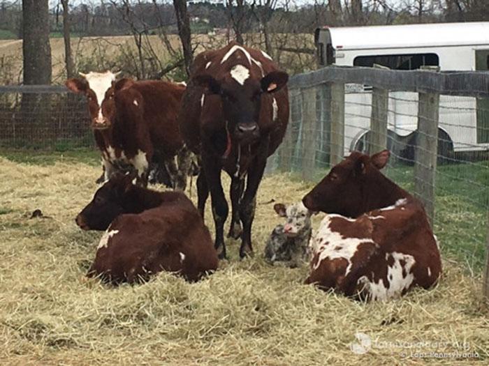 Vacas rescatadas por farm sanctuary