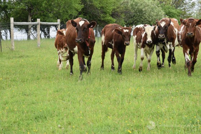 Vacas rescatadas por la organización