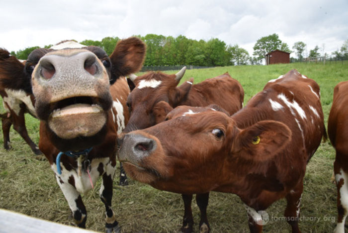 Vacas rescatadas
