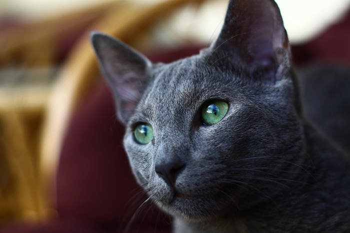 Gato arcángel de ojos verdes