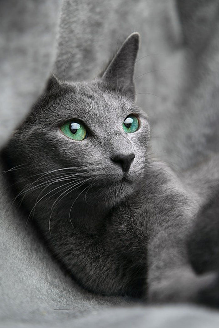 Gato azul ruso - razas de gato