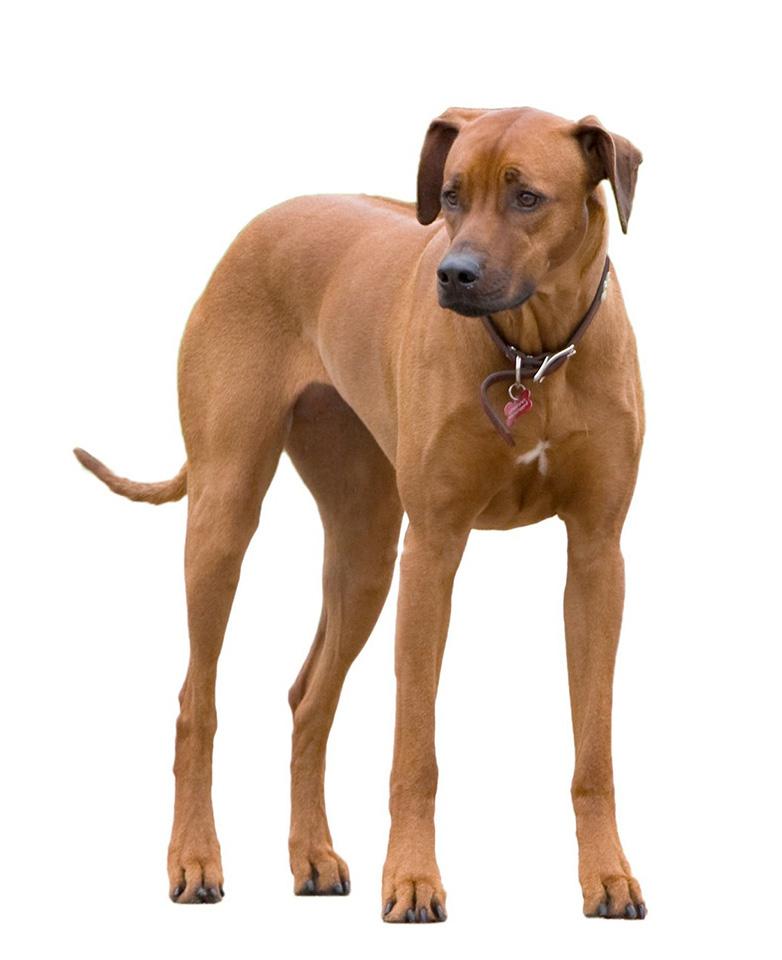 perro rhodesian ridgeback