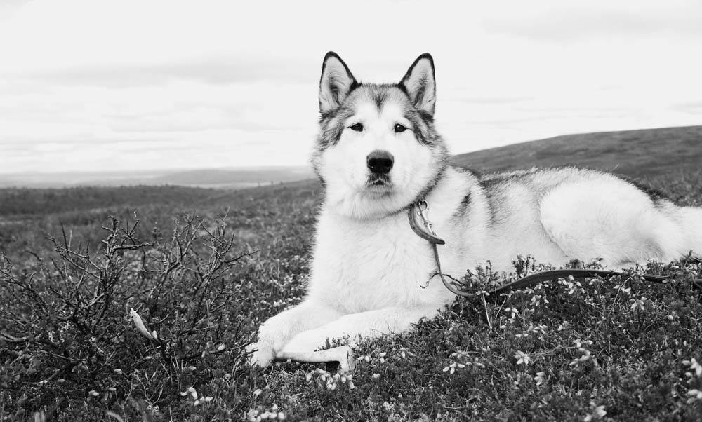 Alaskan malamute - razas de perros