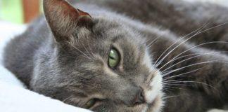 American shorthair o gato americano de pelo corto