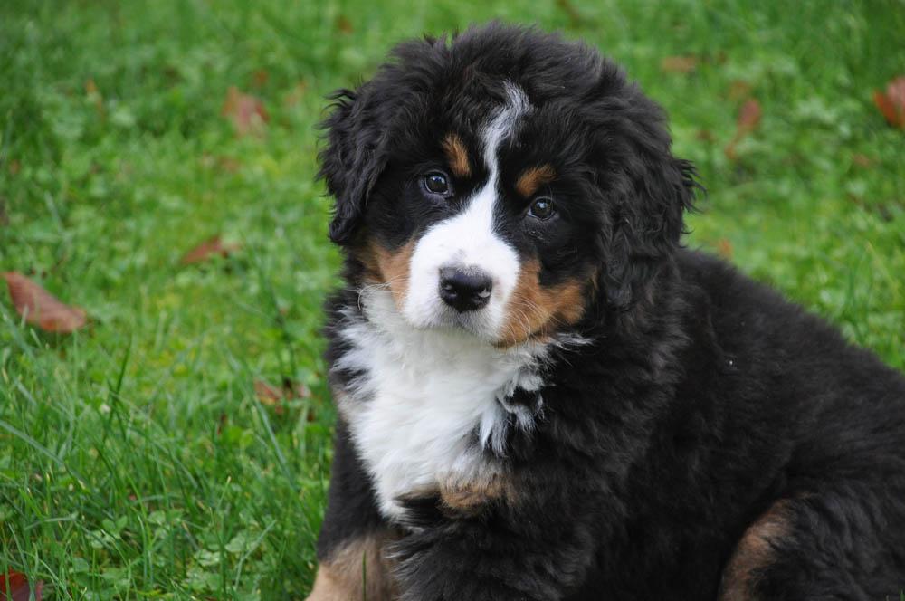 Boyero de Berna cachorro