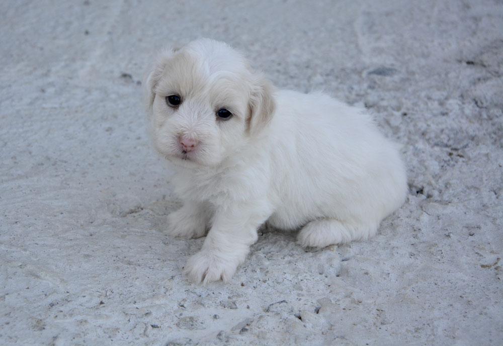 Cachorro de Coton de Tuléar