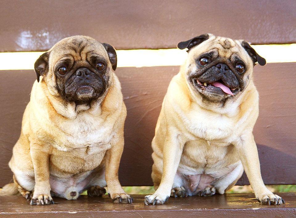 Fotos de perros pug carlino 56