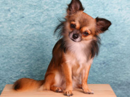 Chihuahua o Chihuahueño, cuidados, características y comportamiento