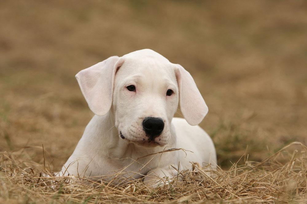 Cachorro Dogo argentino