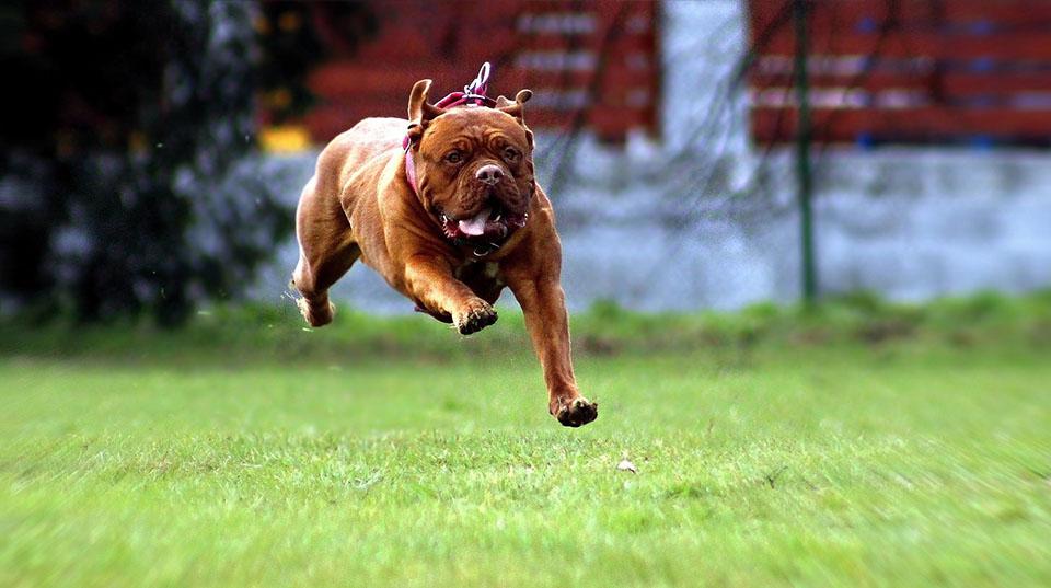 Dogo de Burdeos corriendo