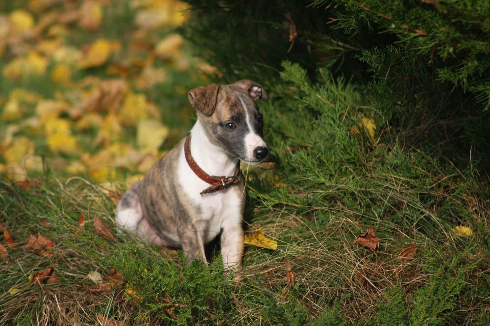 Los perros de raza Galgo español necesitan de mucho ejercicio