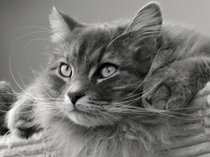 Gato Siberiano - razas