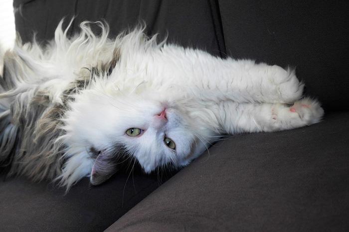 Razas de gato - siberiano