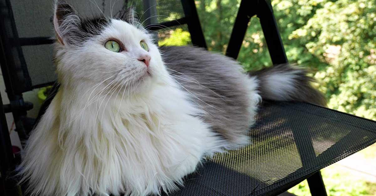 Gato Siberiano, cuidados, comportamiento y características