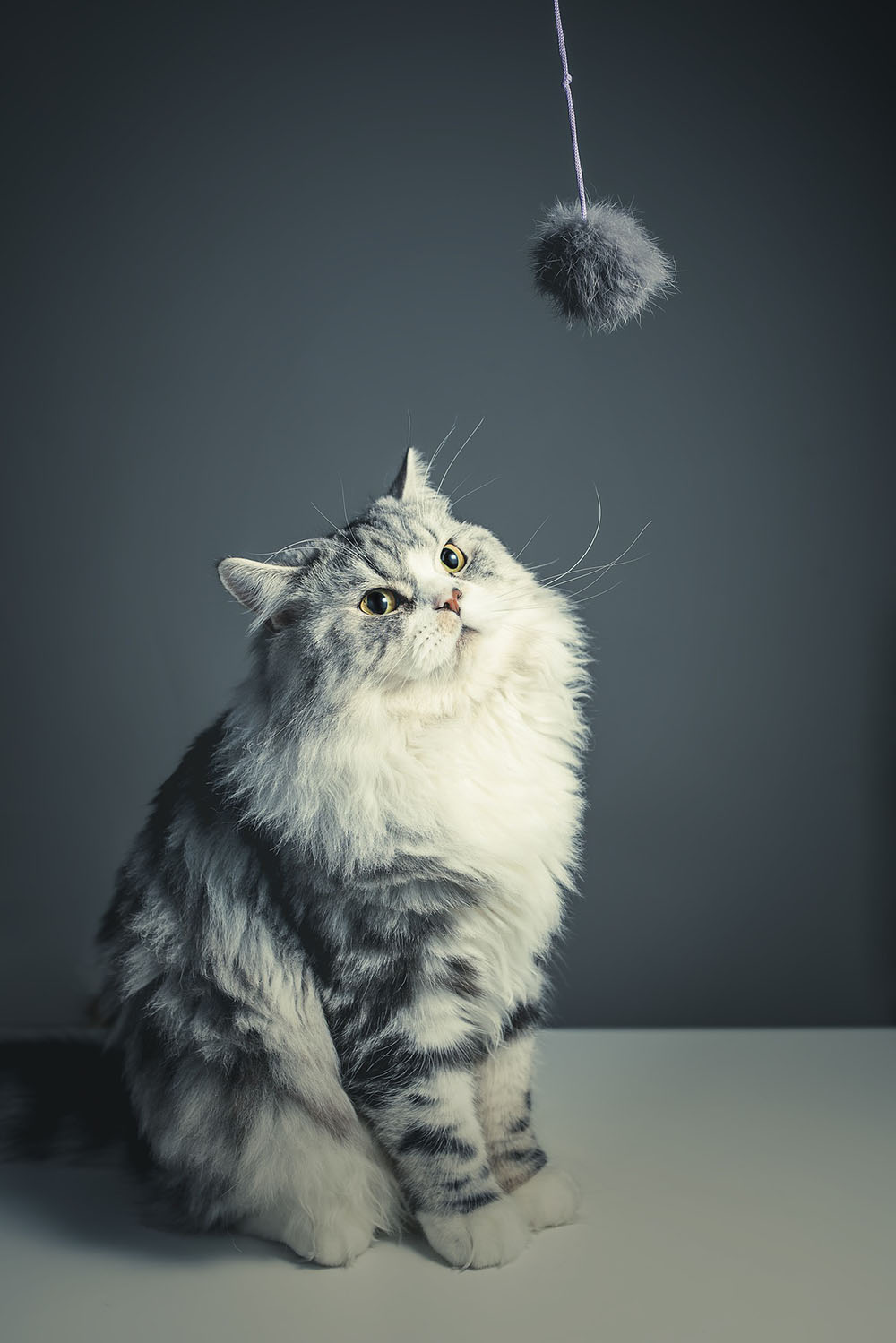 Gato persa jugando