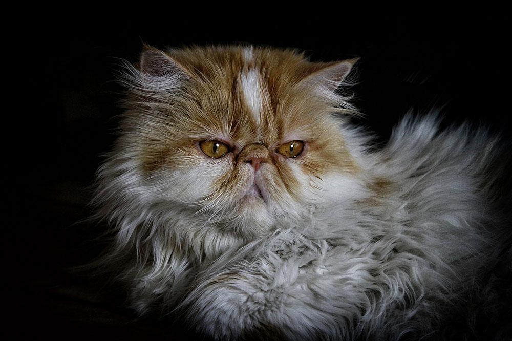 Gato persa - razas