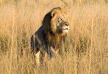 Hijo de Cecil asesinado por cazador de trofeos