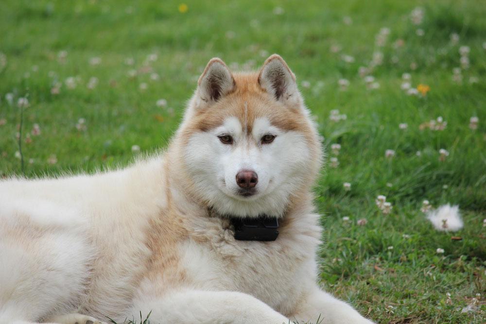 Los Husky Siberiano son perros muy amigables, tratándose incluso de desconocidos.