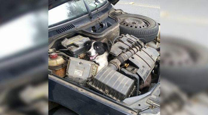 Mujer encuentra a un perro sonriente en el capó de su auto
