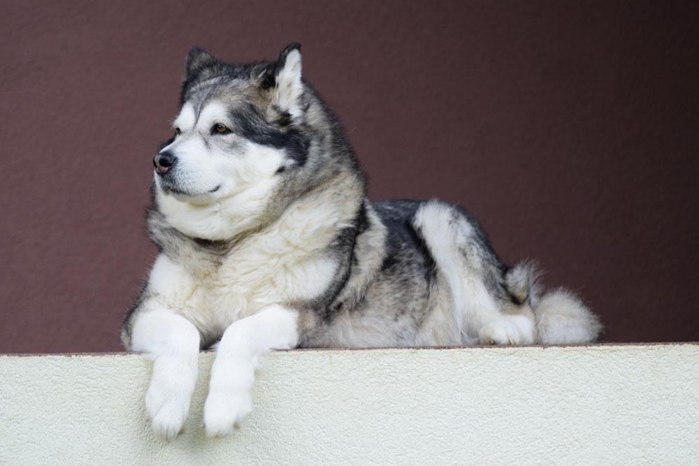 Perro Alaskan Malamute