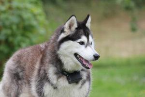 El Husky Siberiano vive entre 12 y 14 años