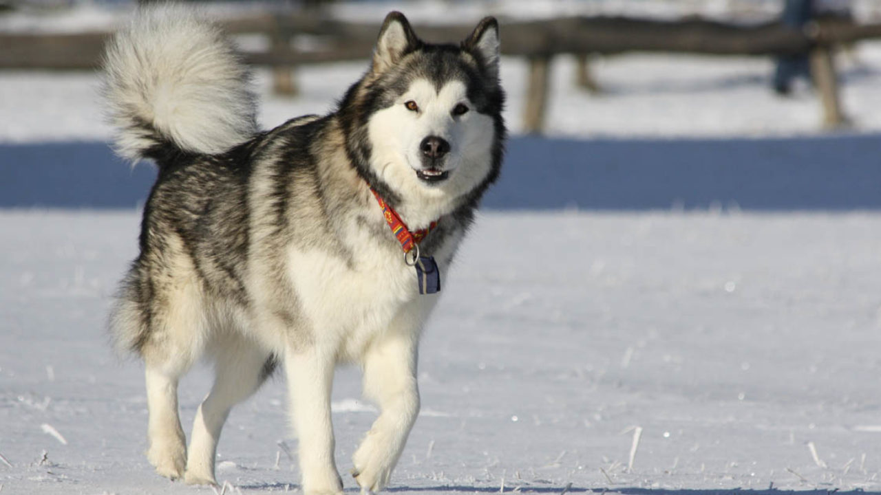 Perro Alaskan malamute salud
