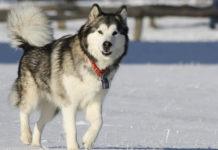 Perro Malamute de Alaska