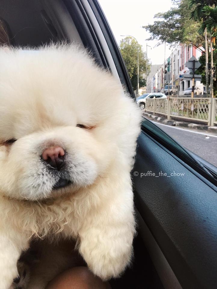 Perro Puffie