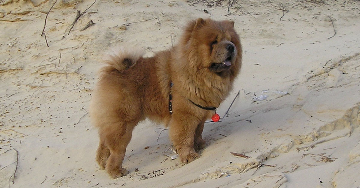 Perro chow chow